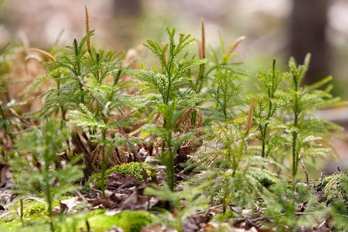Ground Pine