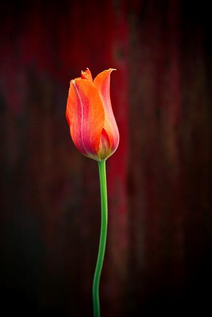 12x16 tulip and rust-3-2