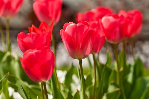Tulipanes en la plaza de Cervantes