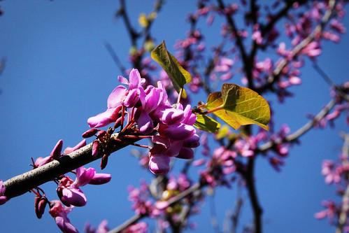 Tree-in-bloom-near-Mosta