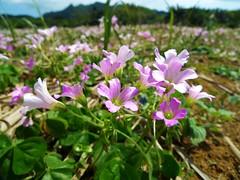 Flower of weed in sugarcane field