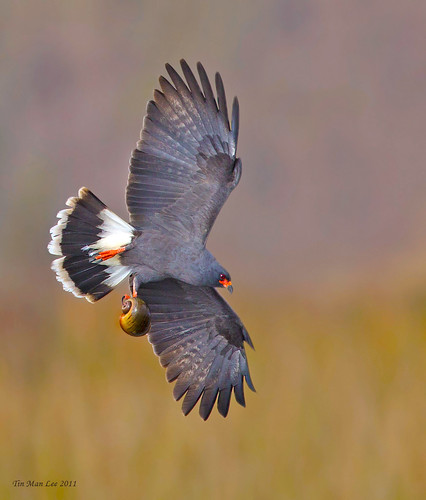 Male snail kite in flight with an apple snail, Lake Toho, Kissimmee, Florida, CA by tinmanizer