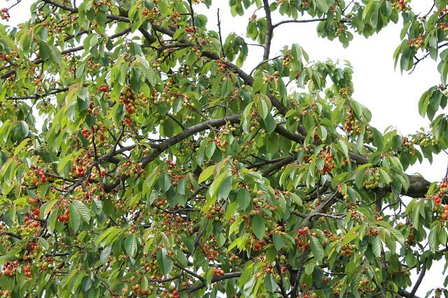 Cherries growing