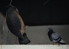 Scary Fake Bird: Debunked by Pigeon