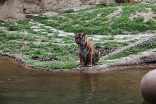 Longing Tiger