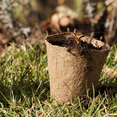 lupini semenzali in vasetto _7001899-1 come oggetto avanzato-1