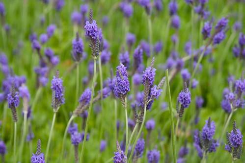 Tiger Hill lavendar