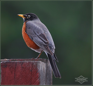 Better Late Than Never, American Robin