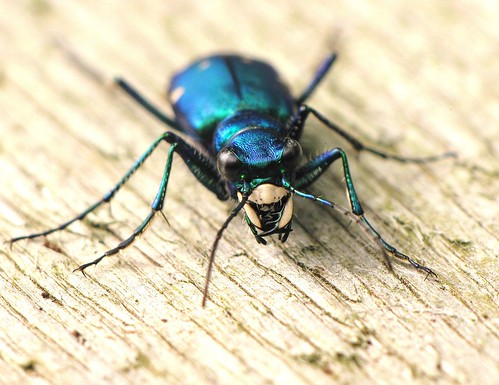 Six-spotted tiger beetle (Cicindela sexguttata) by TGIQ