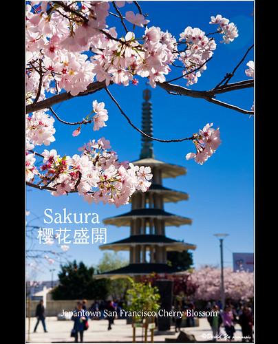 Japantown San Francisco Cherry Blossom  Sakura 樱花盛開 by davidyuweb