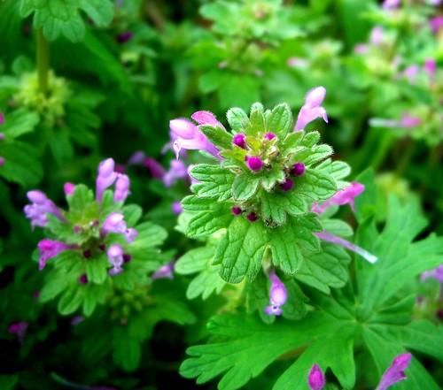 purple weeds