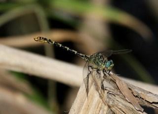 2011_06_29 AL - Small Pincertail (Onychogomphus forcipatus) 01