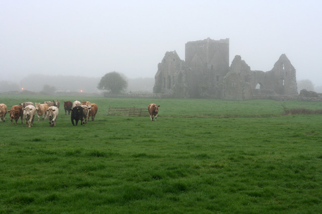 cows coming out of the fog by Hore Abbey