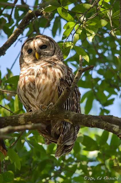 Barred Owl 2