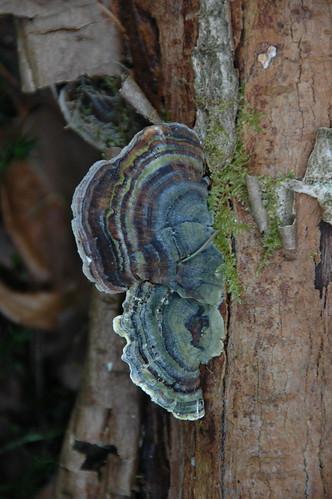 agate fungi