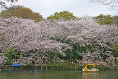 井の頭恩賜公園の桜(Inokashira Park, Japan, 2011)