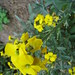Wallflowers (yellow)