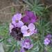 Wallflowers (purple)