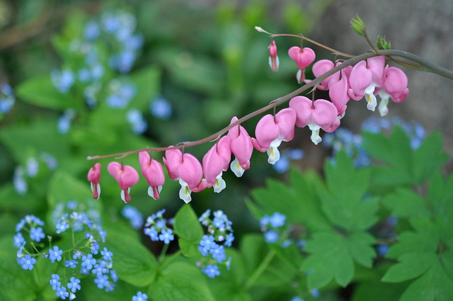 Bleeding hearts, forget-me-not