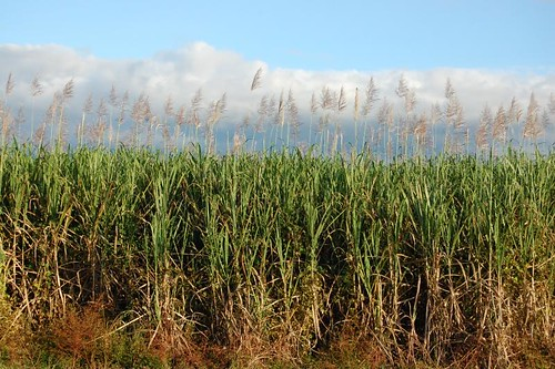 Saccharum spp (Sugarcane)