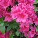 Azalea (pink)