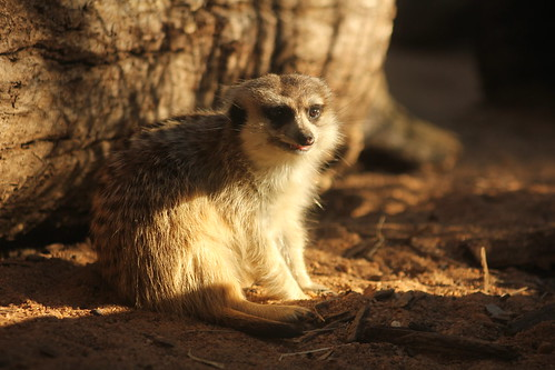 Meerkat: Western Plains Zoo