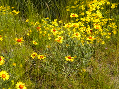 Coreopsis In Grass At Maryhill Museum