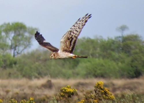 "Montagu's Harrier, The Lizard, 25.04.14 (J.St Ledger) • <a style=""font-size:0.8em;"" href=""http://www.flickr.com/photos/30837261@N07/14004467162/"" target=""_blank"">View on Flickr</a>"