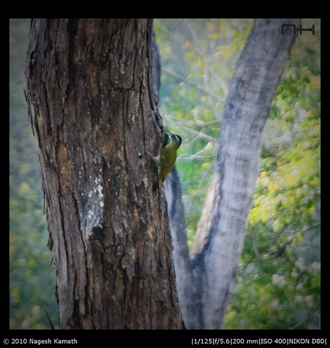 Streak-throated woodpecker | Kabini