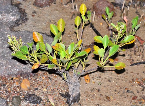 Aegialitis annulata (Club Mangrove)