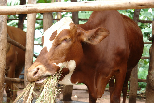Crossbred dairy cow in Rwanda