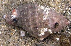 nudionwhelk