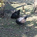 Vale chickens, Georgia