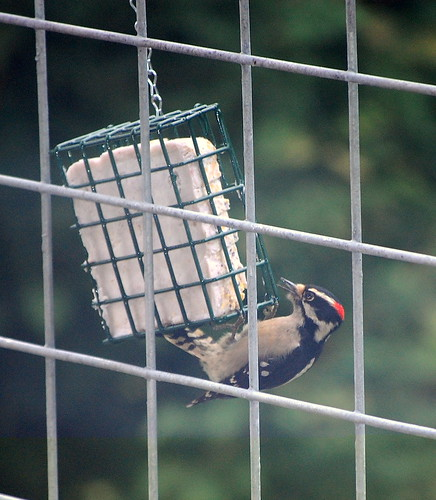 Woodpecker eating berries in suet from a feeder.