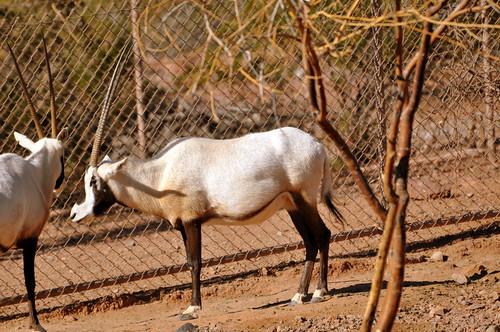 unicorn (oryx)