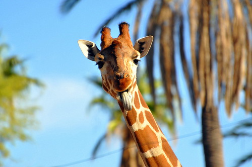 giraffe tongue!