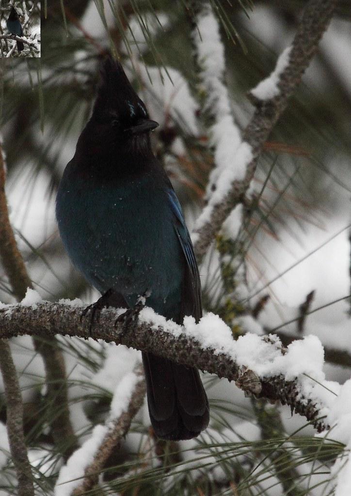 Steller Jay in Pine