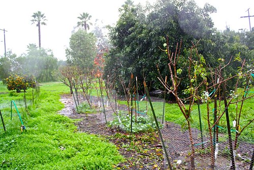 fruittrees in the rain