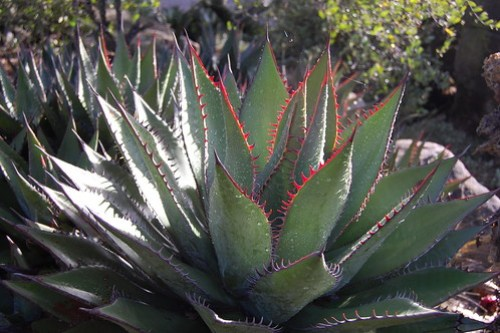 Shaw's Agave - Agave shawii