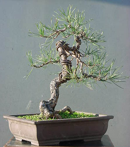Scot's Pine Progression 1998 – 2010 (3/6)