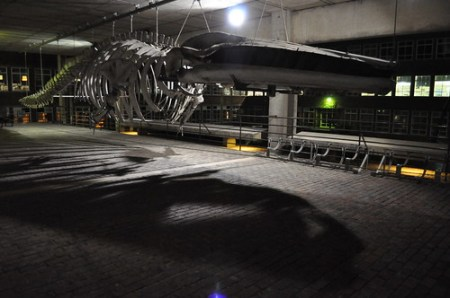 Finback whale at the University Museum of Zoology