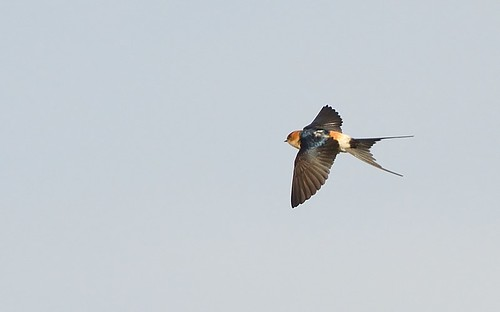"""Red-rumped Swallow, Marazion (S.Williams) • <a style=""""font-size:0.8em;"""" href=""""http://www.flickr.com/photos/30837261@N07/14037340822/"""" target=""""_blank"""">View on Flickr</a>"""