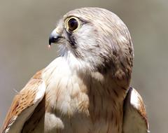 Falcon (Macro Shot)