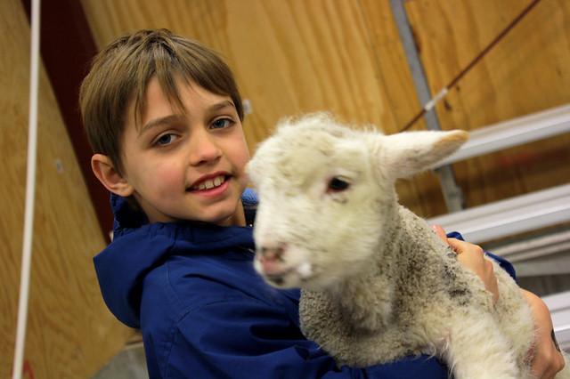 lambs - 4