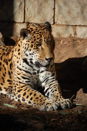 Pensive Jaguar