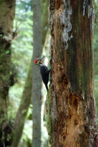 Pilated woodpecker at Duthie Hill Mountain Bike Park