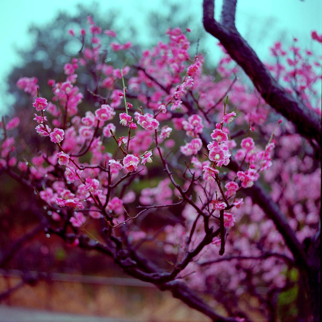 plums on a rainy day(stream2/2)