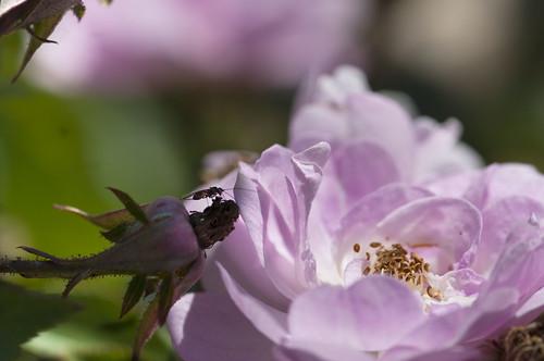 rosa narrow water