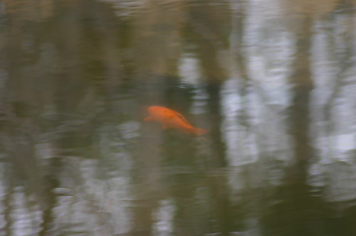 Billy Goat Trail - Goldfish in Pond (By Ryan Somma)