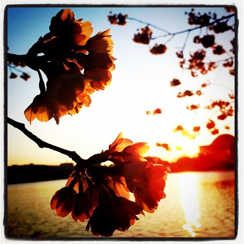 Cherry Blossom by OriginalFotografie